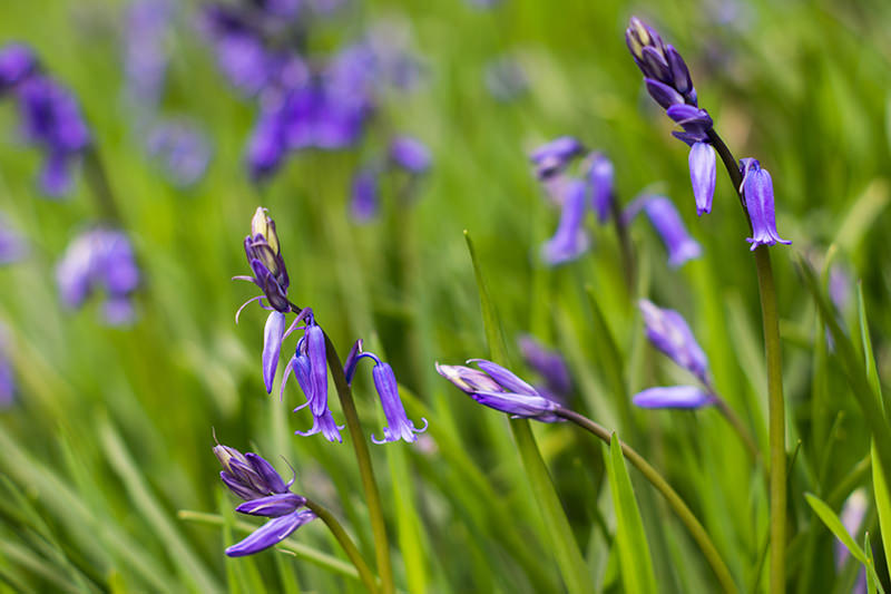 Bluebells - Hollingsclough - Peak District Photography