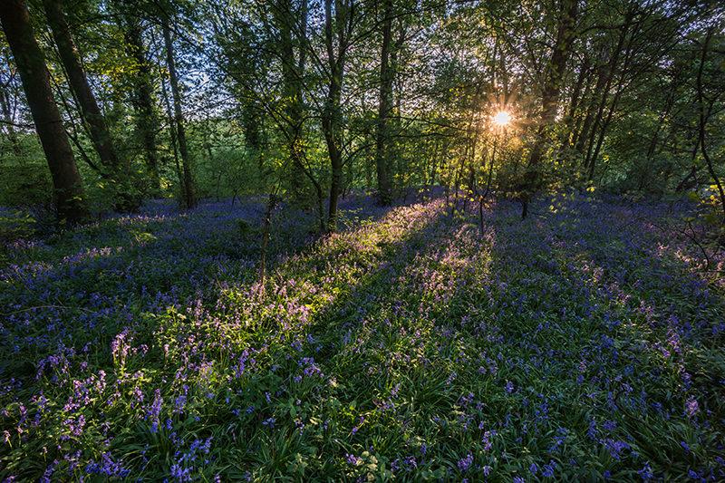 Bluebells Sunset - Pinxton - Derbyshire