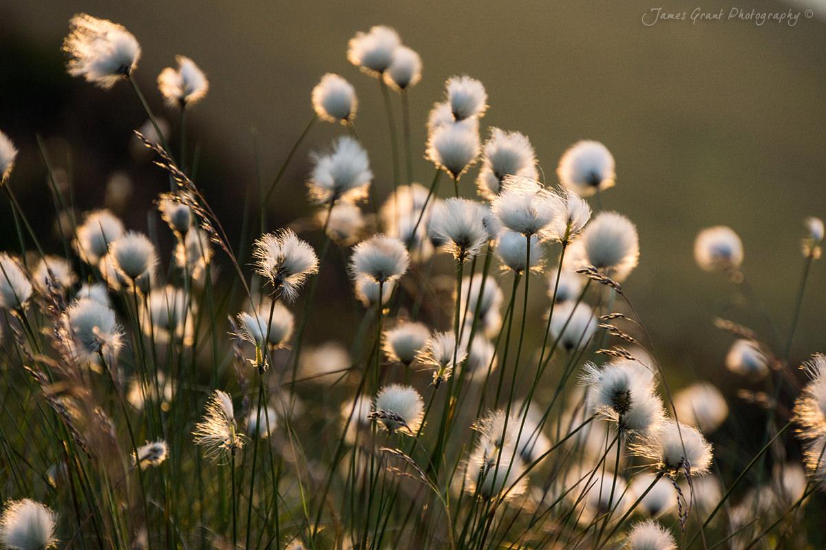 Cotton Grass - Peak District Photography